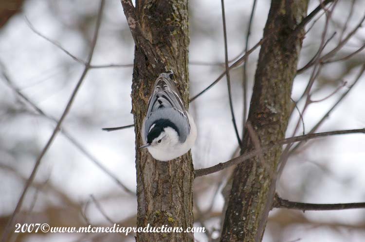 White Breasted Nuthatch Picture-01