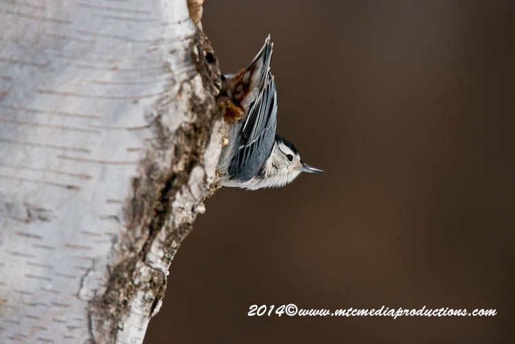 White Breasted Nuthatch Picture-102