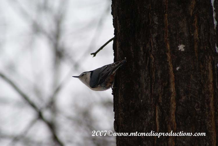 White Breasted Nuthatch Picture-11