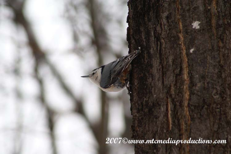 White Breasted Nuthatch Picture-12