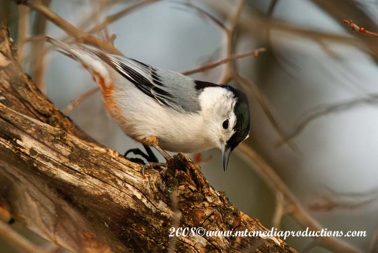 White Breasted Nuthatch Picture-15