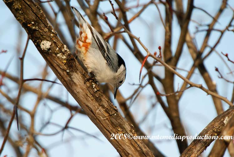 White Breasted Nuthatch Picture-16