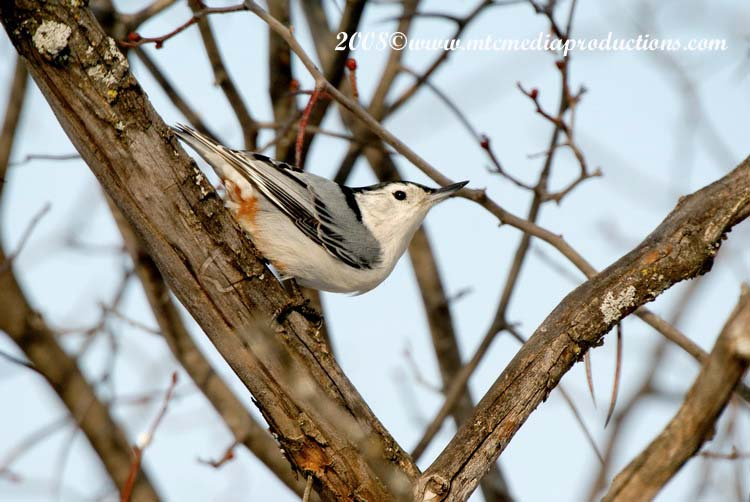 White Breasted Nuthatch Picture-17