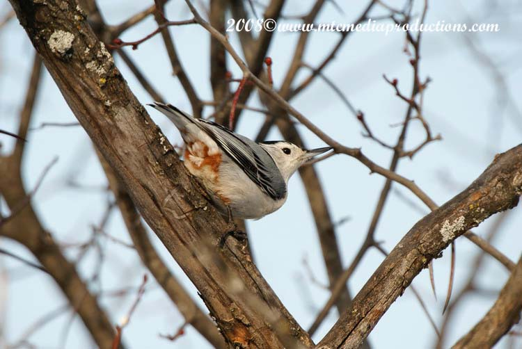 White Breasted Nuthatch Picture-18