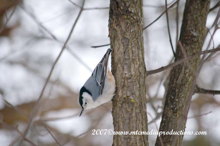 White Breasted Nuthatch Picture-02