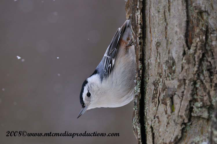 White Breasted Nuthatch Picture-27