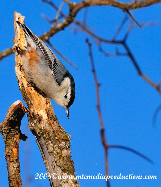 White Breasted Nuthatch Picture-28