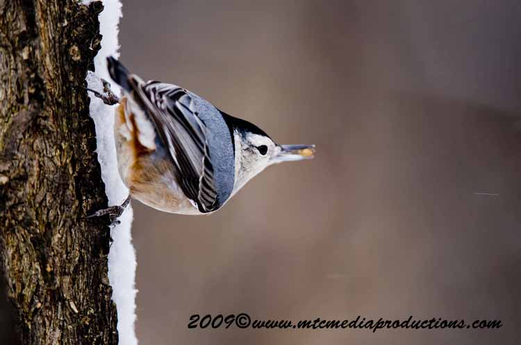 White Breasted Nuthatch Picture-29