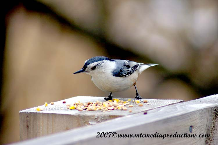 White Breasted Nuthatch Picture-03