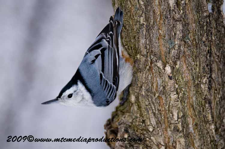 White Breasted Nuthatch Picture-30