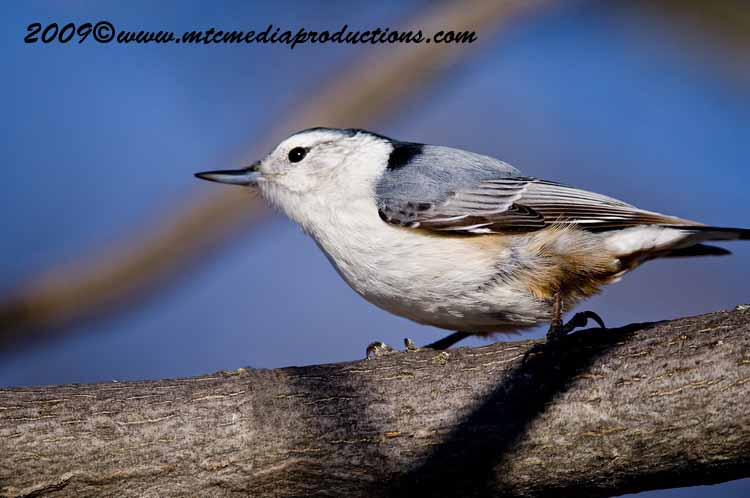 White Breasted Nuthatch Picture-31