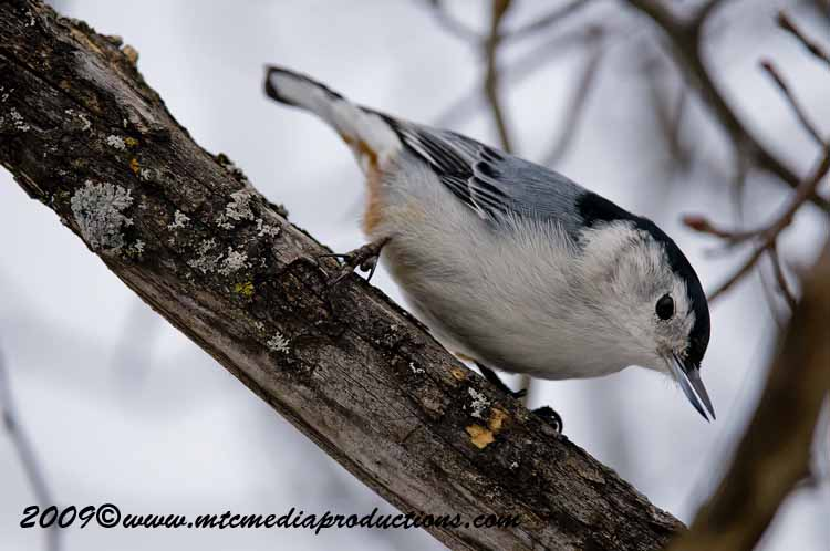 White Breasted Nuthatch Picture-32