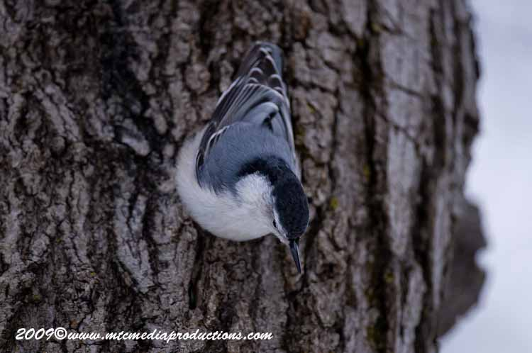 White Breasted Nuthatch Picture-33