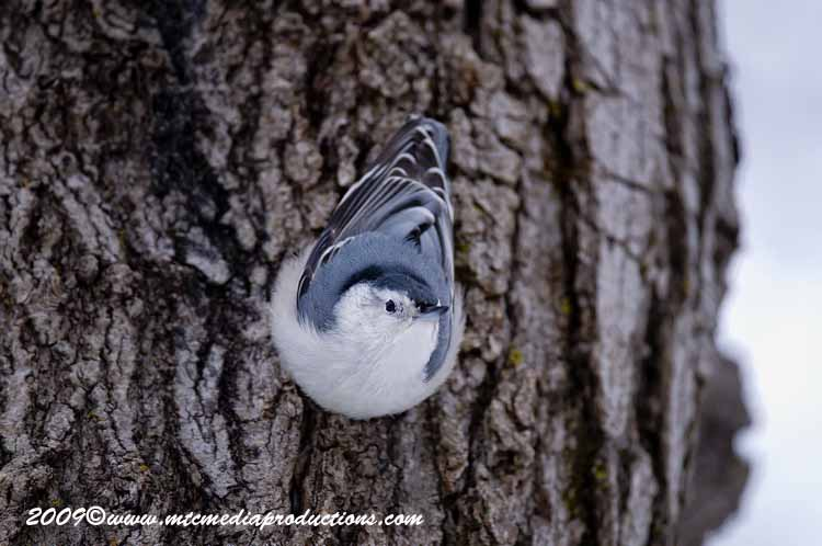 White Breasted Nuthatch Picture-34
