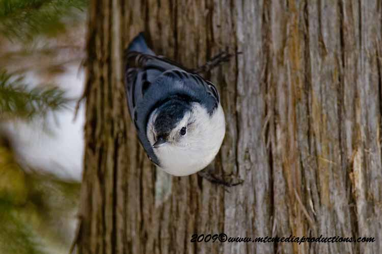 White Breasted Nuthatch Picture-38