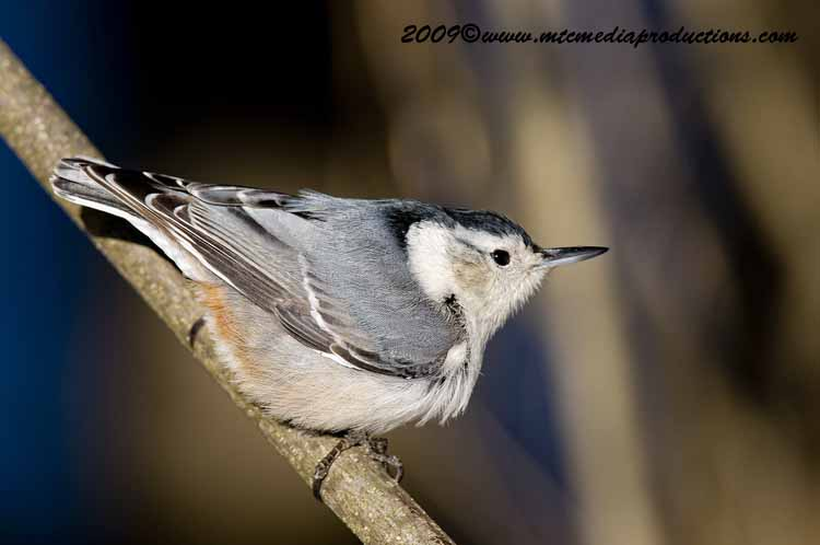 White Breasted Nuthatch Picture-39