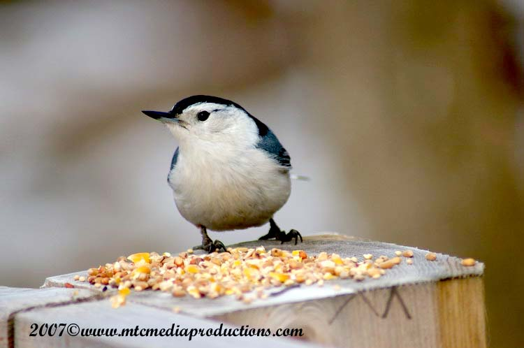 White Breasted Nuthatch Picture-04
