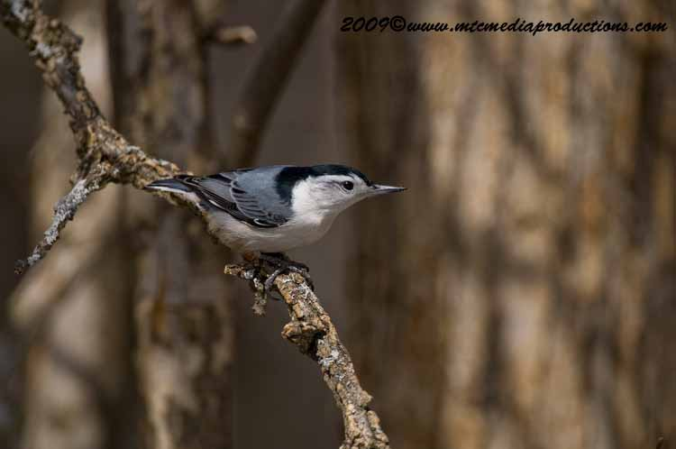 White Breasted Nuthatch Picture-41