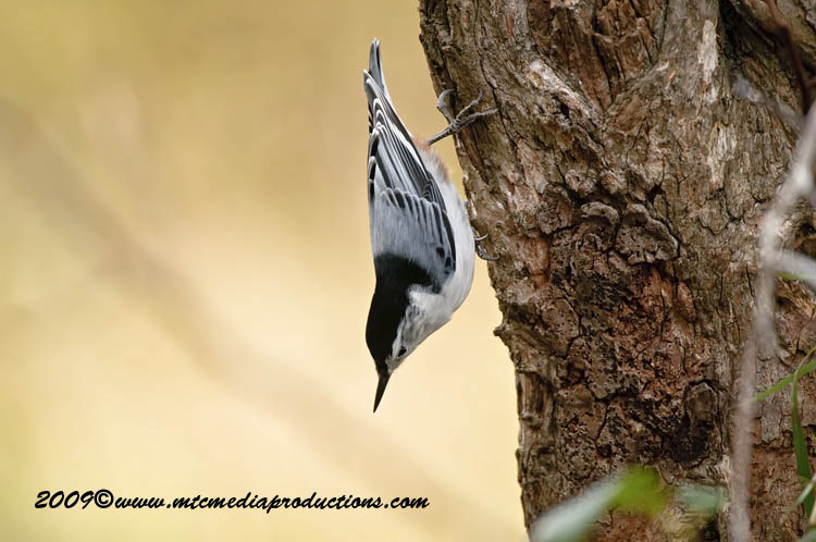 White Breasted Nuthatch Picture-45