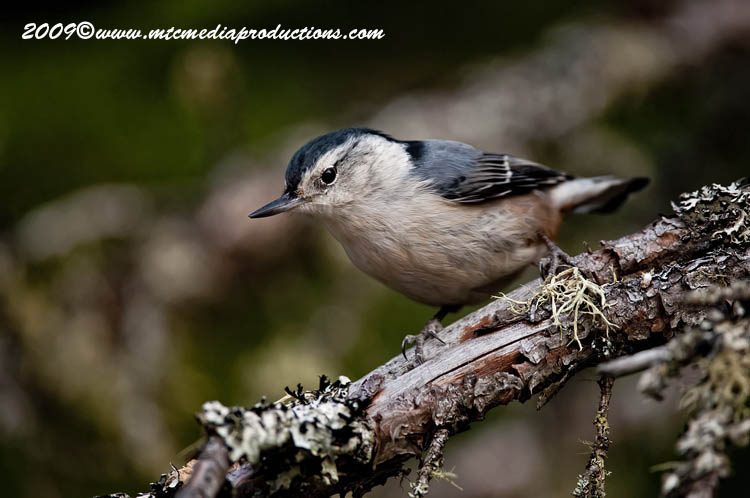 White Breasted Nuthatch Picture-47