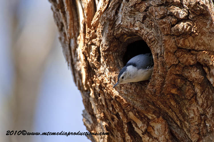 White Breasted Nuthatch Picture-49