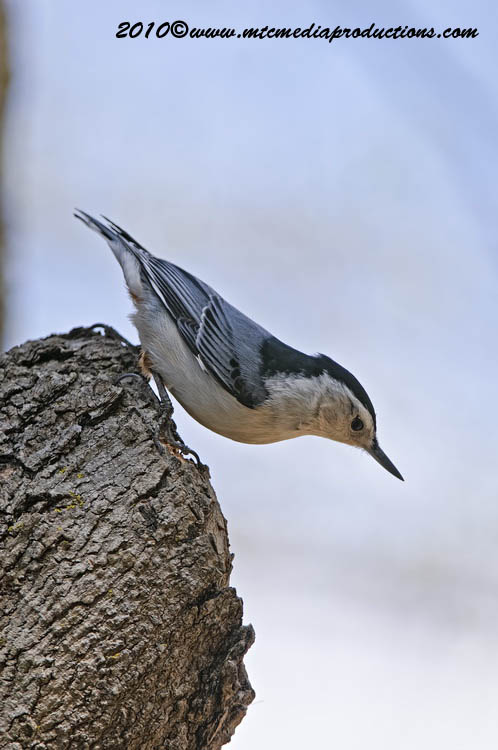 White Breasted Nuthatch Picture-51