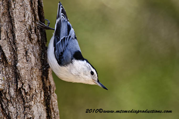 White Breasted Nuthatch Picture-52
