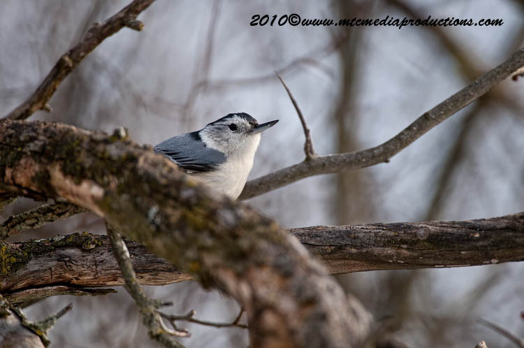 White Breasted Nuthatch Picture-55