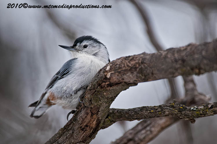 White Breasted Nuthatch Picture-56