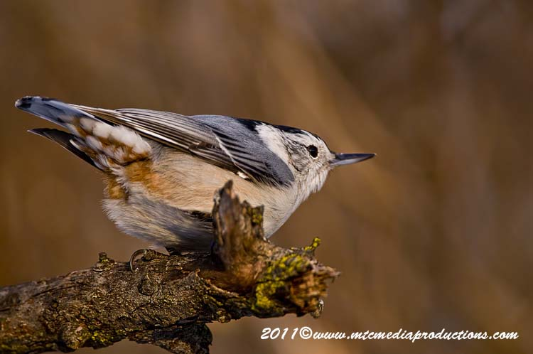 White Breasted Nuthatch Picture-58