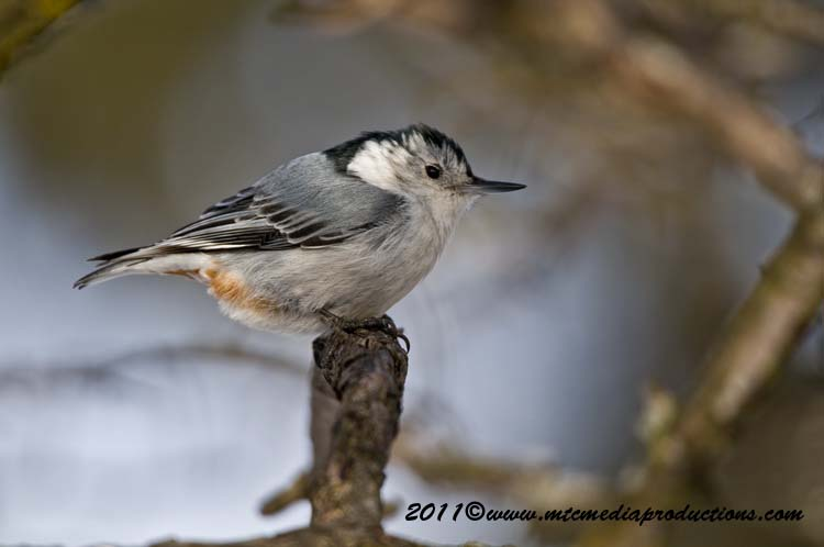 White Breasted Nuthatch Picture-61