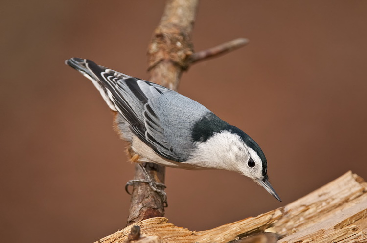 White Breasted Nuthatch Picture-62