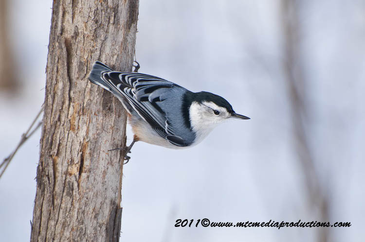 White Breasted Nuthatch Picture-65