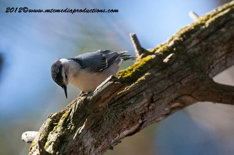 White Breasted Nuthatch Picture-66