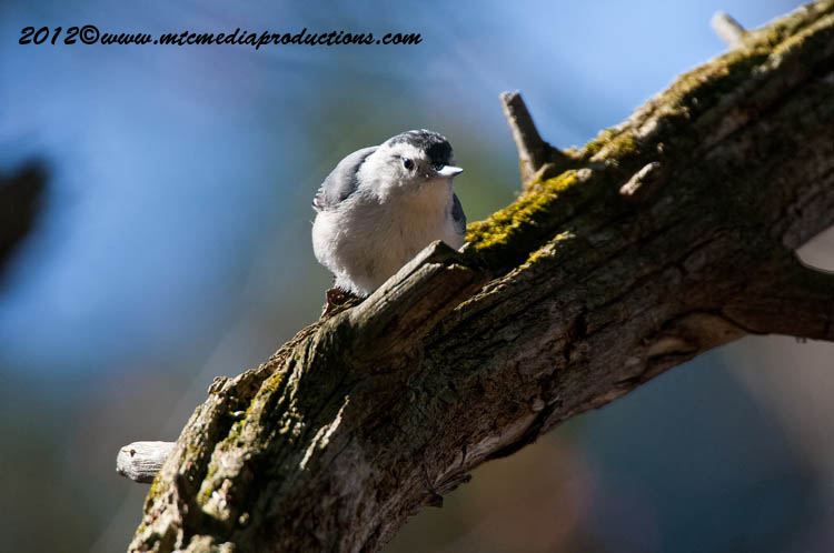 White Breasted Nuthatch Picture-67