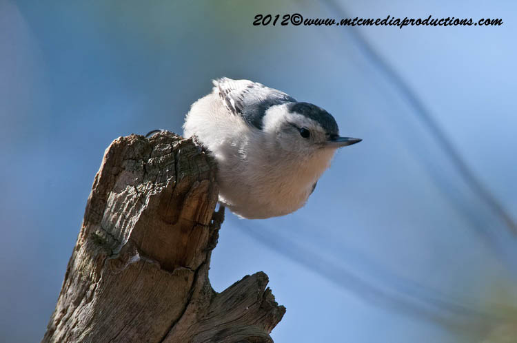 White Breasted Nuthatch Picture-68