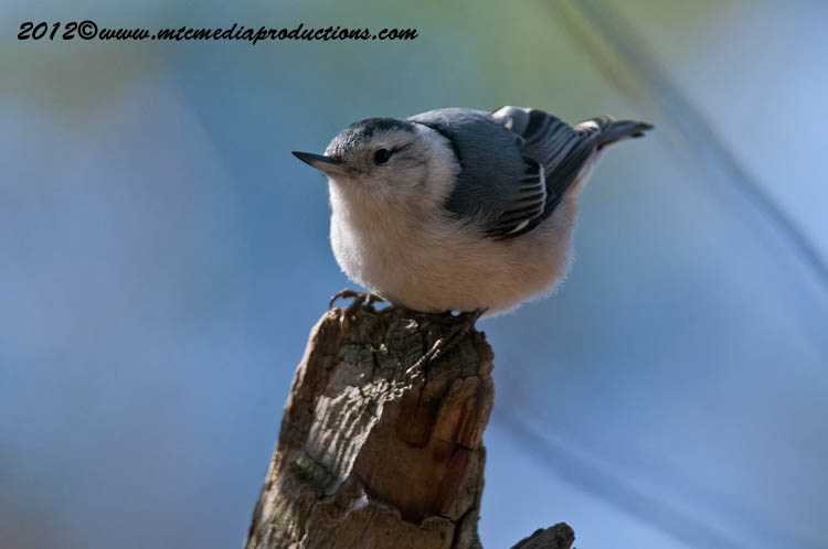White Breasted Nuthatch Picture-69