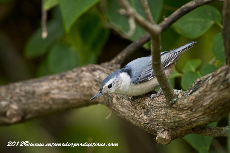 White Breasted Nuthatch Picture-72