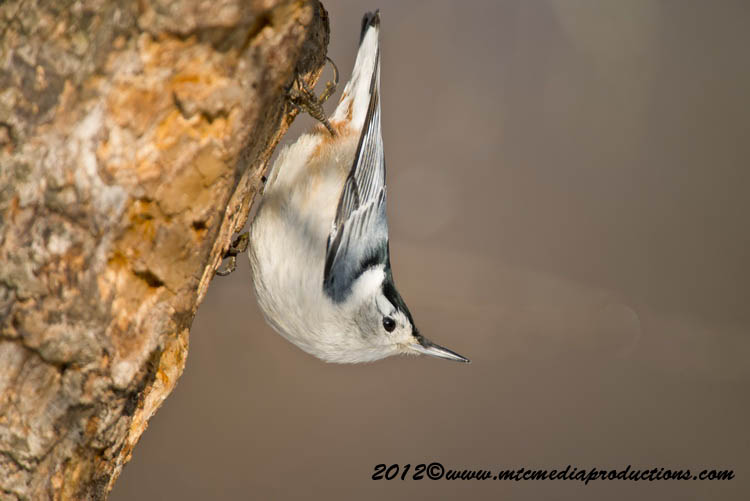 White Breasted Nuthatch Picture-75