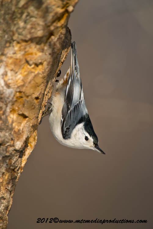 White Breasted Nuthatch Picture-76