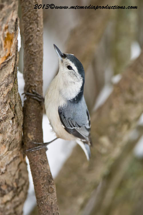 White Breasted Nuthatch Picture-79