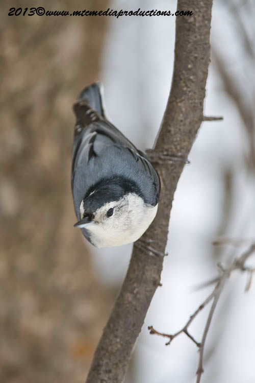 White Breasted Nuthatch Picture-80