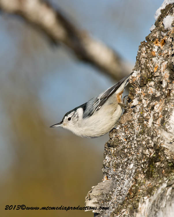 White Breasted Nuthatch Picture-83