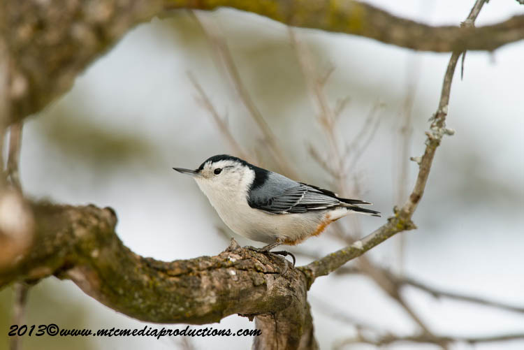 White Breasted Nuthatch Picture-85