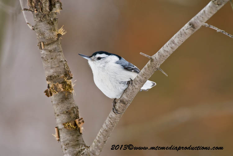 White Breasted Nuthatch Picture-87