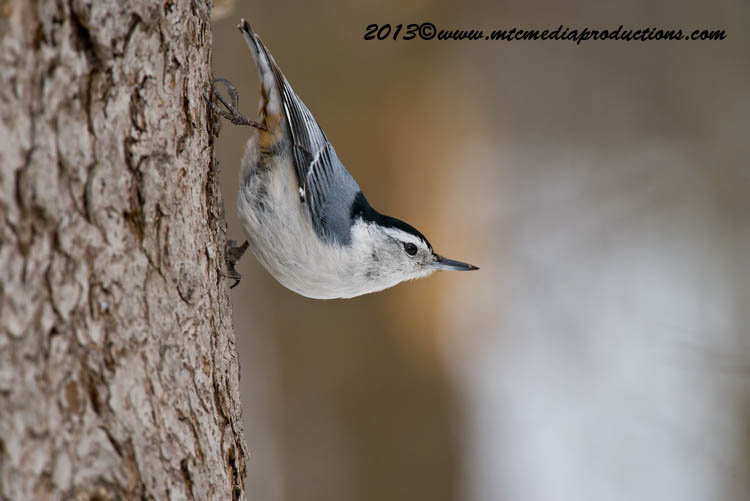 White Breasted Nuthatch Picture-88