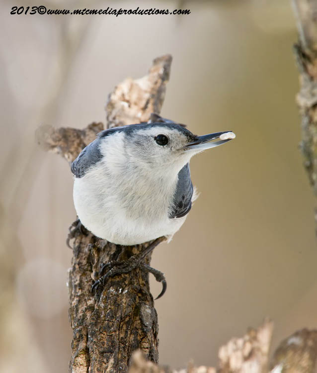 White Breasted Nuthatch Picture-89