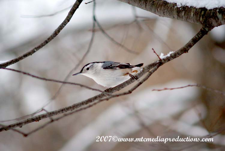 White Breasted Nuthatch Picture-09