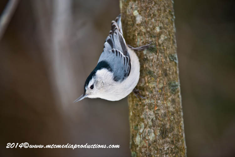 White Breasted Nuthatch Picture-91
