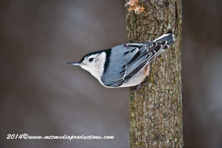 White Breasted Nuthatch Picture-92